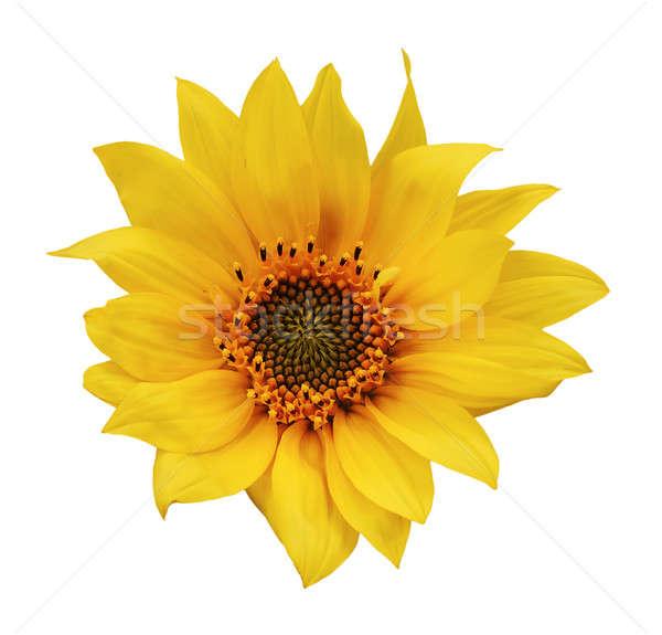 подсолнечника изолированный белый солнце лист Сток-фото © Avlntn