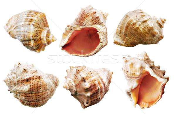 Shell set isolato bianco natura mare Foto d'archivio © Avlntn