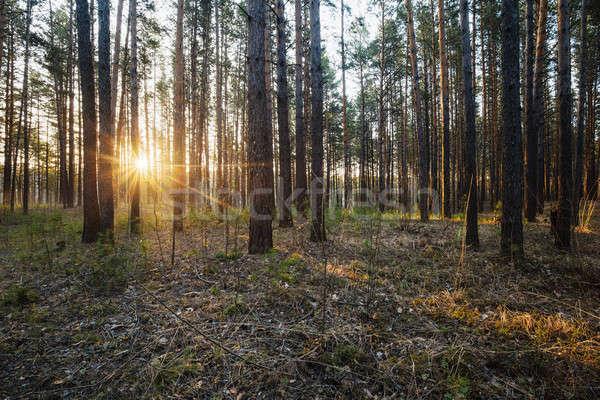 Tramonto boschi bella luce alberi estate Foto d'archivio © Avlntn