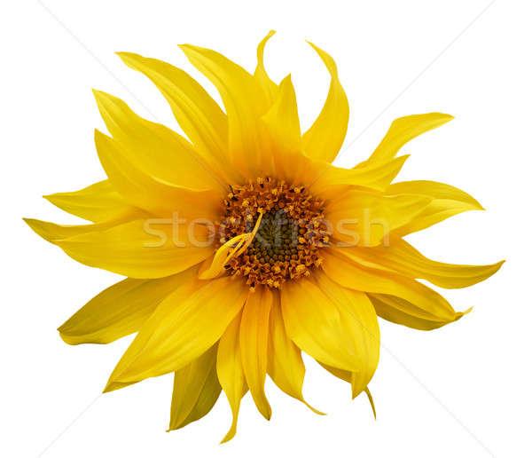ストックフォト: ヒマワリ · 孤立した · 白 · 太陽 · 葉