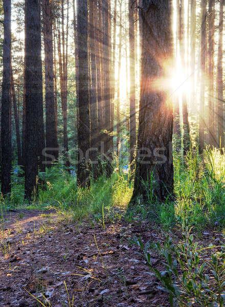 закат лесу красивой трава лес свет Сток-фото © Avlntn