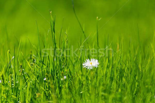 夏 ぼけ味 緑の草 ヒナギク 草 背景 ストックフォト © Avlntn