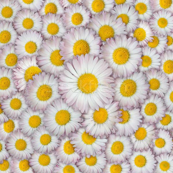 ヒナギク クローズアップ 花 庭園 美 デイジーチェーン ストックフォト © Avlntn