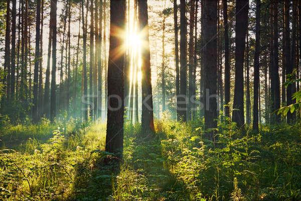 закат лесу лес деревья лет зеленый Сток-фото © Avlntn