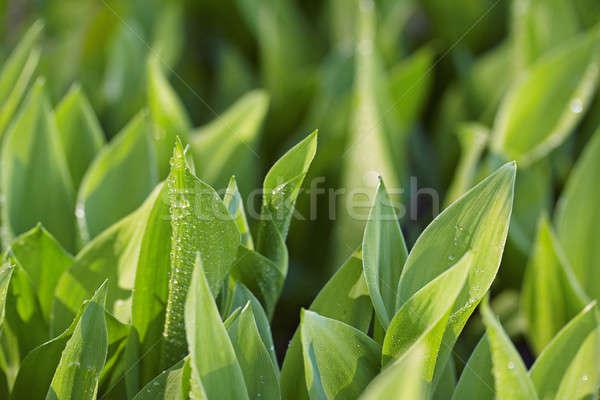Yeşil yaprakları yaprak arka plan yeşil yaprakları Stok fotoğraf © Avlntn