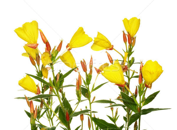 Oenothera glazioviana Stock photo © Avlntn
