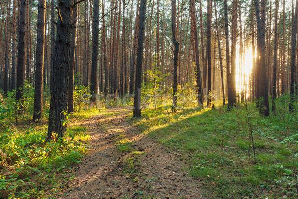 sunset in the woods  Stock photo © Avlntn