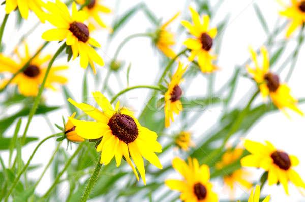 黄色 花 家族 自然 葉 美 ストックフォト © Avlntn