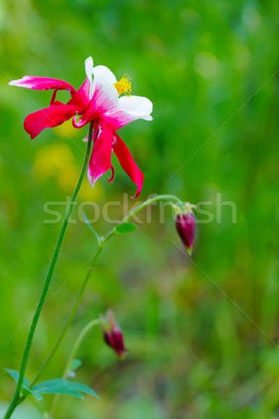 花 春 草 自然 光 健康 ストックフォト © Avlntn