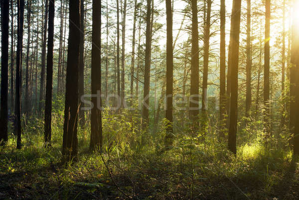 закат лесу красивой лес солнце пейзаж Сток-фото © Avlntn