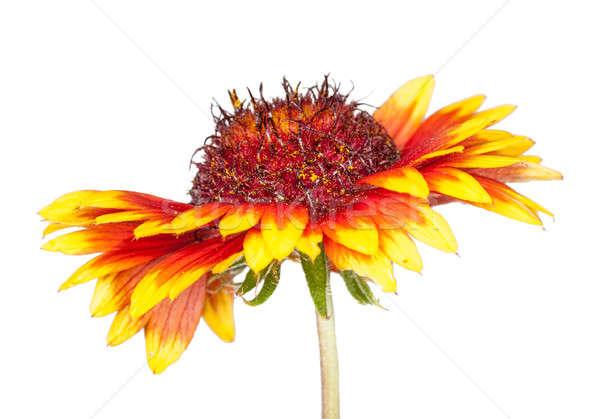 gaillardia flower  Stock photo © Avlntn