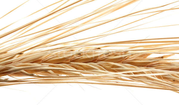 ears of wheat Stock photo © Avlntn