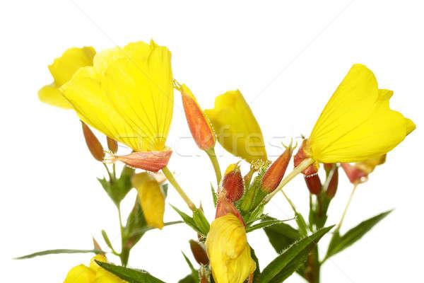 Oenothera glazioviana Stock photo © Avlntn