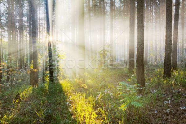 Tramonto foresta autunno erba luce foglia Foto d'archivio © Avlntn