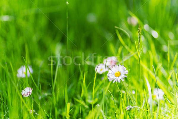 зеленая трава Ромашки лет bokeh природы саду Сток-фото © Avlntn