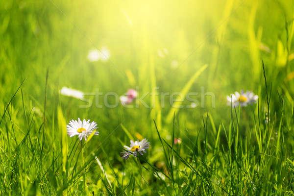 Yaz bokeh yeşil ot papatyalar çim arka plan Stok fotoğraf © Avlntn