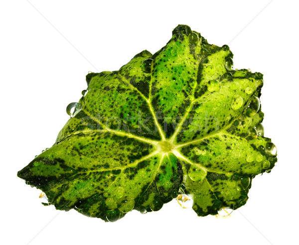 Groen blad druppels water witte licht groene Stockfoto © Avlntn