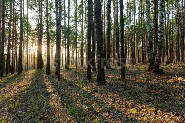 Pôr do sol mata belo estrada luz árvores Foto stock © Avlntn