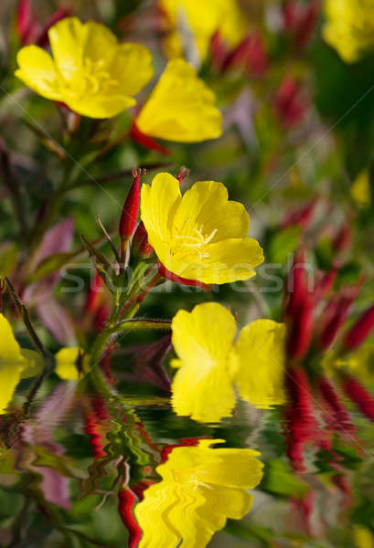 Oenothera Stock photo © Avlntn