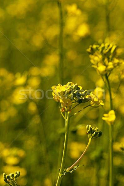 Virágzó nemi erőszak virág közelkép lövés tavasz Stock fotó © avq
