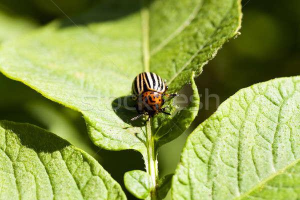 the Colorado beetle  Stock photo © avq