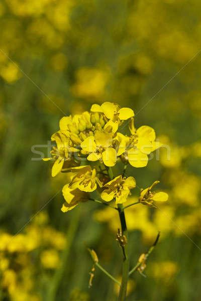 colza flower   Stock photo © avq