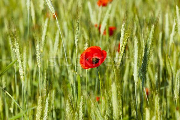Vermelho verão agrícola Foto stock © avq