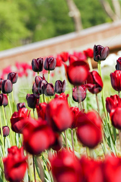 red and maroon tulips  Stock photo © avq