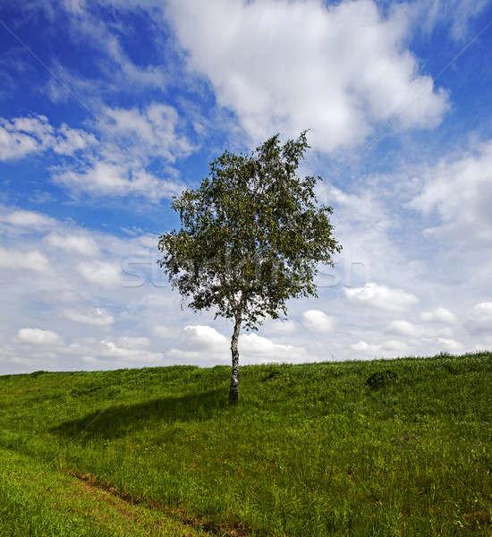 Drzewo dziedzinie brzozowy rozwój rosną w górę Zdjęcia stock © avq