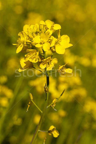 Bloei verkrachting bloem shot voorjaar Stockfoto © avq