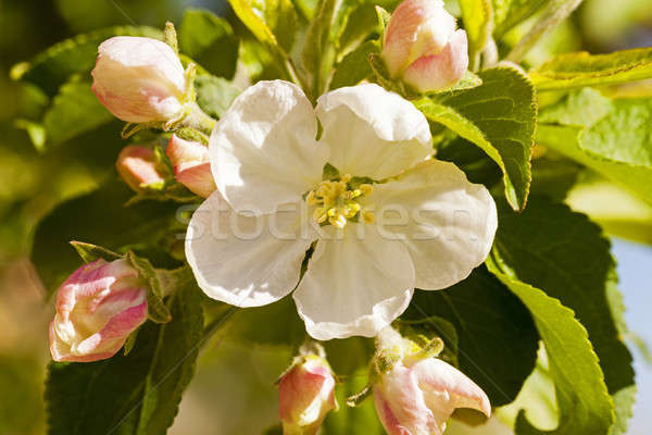 apple-tree flower   Stock photo © avq