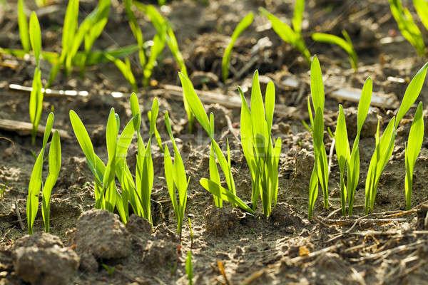 Pszenicy mały skupić pierwszy plan wiosną Zdjęcia stock © avq