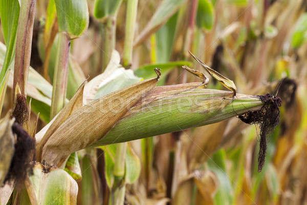 ripe corn, autumn Stock photo © avq