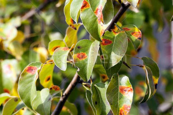 Gruszka jesienią drzewo charakter Zdjęcia stock © avq
