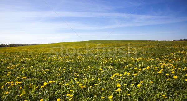 Alan karahindiba büyük numara çiçek çim Stok fotoğraf © avq