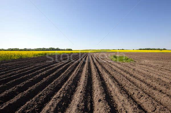Alan tarım büyüyen mavi gökyüzü çiçek yaz Stok fotoğraf © avq