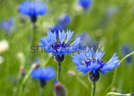 blue cornflower   Stock photo © avq
