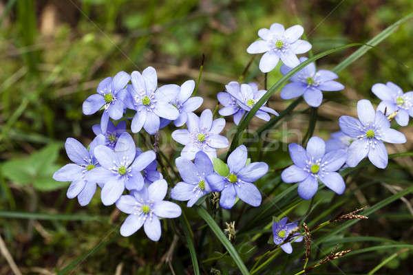 Wiosennych kwiatów jeden pierwszy kwiat kwiaty Zdjęcia stock © avq