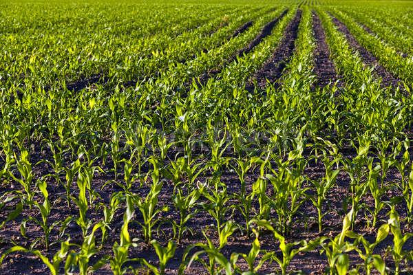 Zielone kukurydza rolniczy dziedzinie rosną w górę Zdjęcia stock © avq