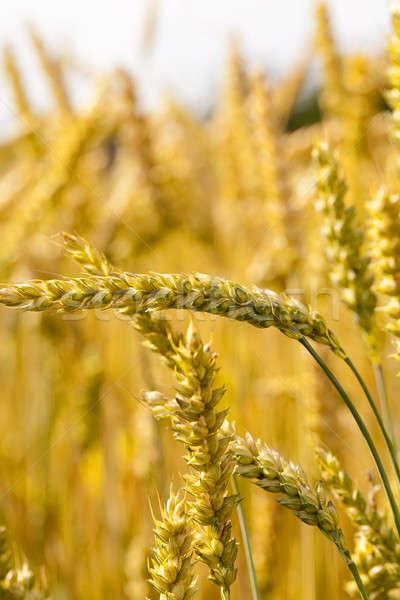 Olgun tahıl tarım alan büyümek yukarı Stok fotoğraf © avq