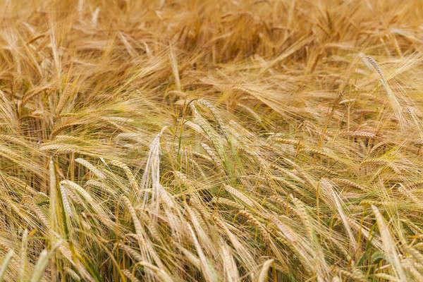 Tahıl kulaklar yaz buğday bitki Stok fotoğraf © avq