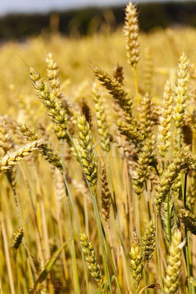 ripened cereals  Stock photo © avq