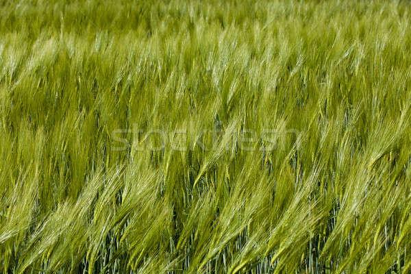 green barley   Stock photo © avq