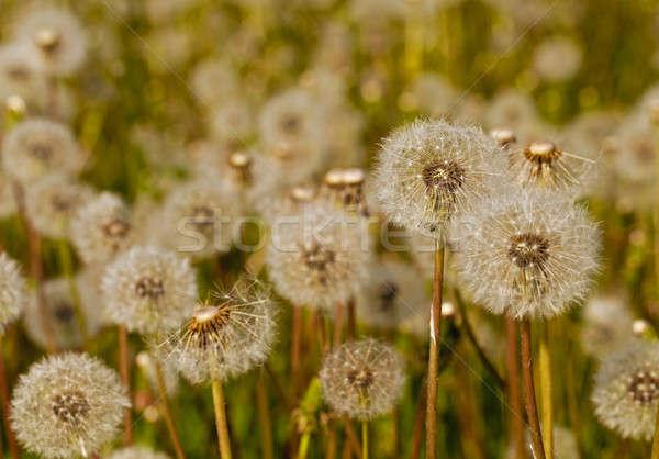 Foto stock: Branco · leão · família · primavera · grama