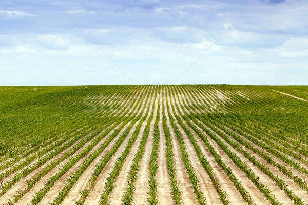 Kukurydza dziedzinie lata rolniczy zielone niedojrzały Zdjęcia stock © avq