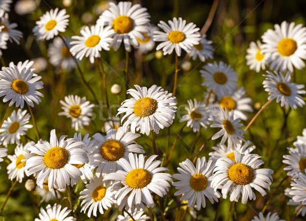 çiçekler kırsal alan papatya Stok fotoğraf © avq