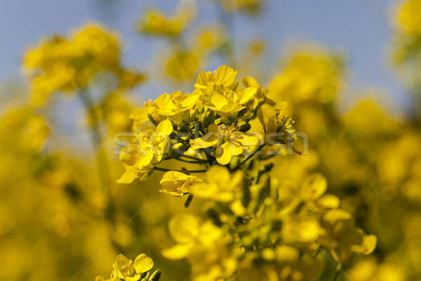 blossoming colza  Stock photo © avq