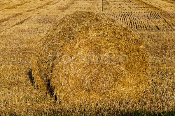 Paille blé récolte domaine usine Photo stock © avq
