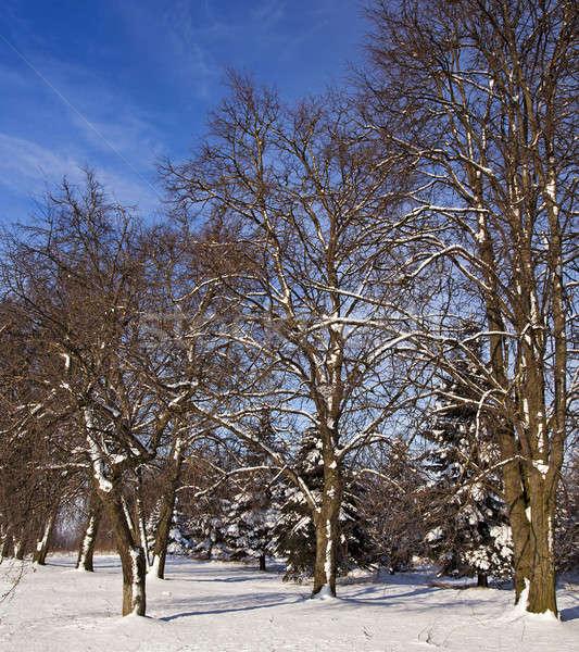 Zimą lasu drzew pokryty śniegu sezon zimowy Zdjęcia stock © avq