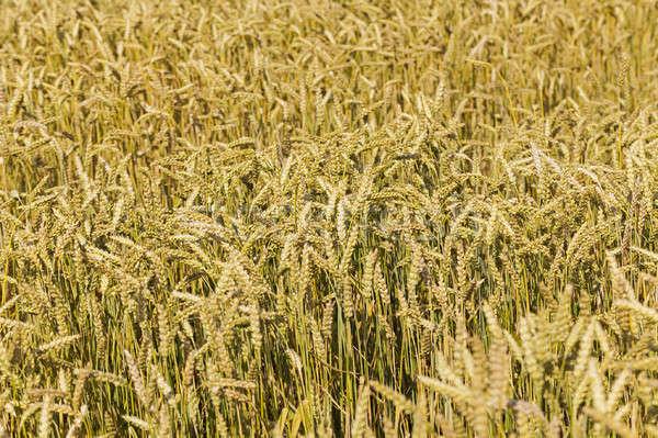 Tahıl kulaklar buğday mısır bitki Stok fotoğraf © avq